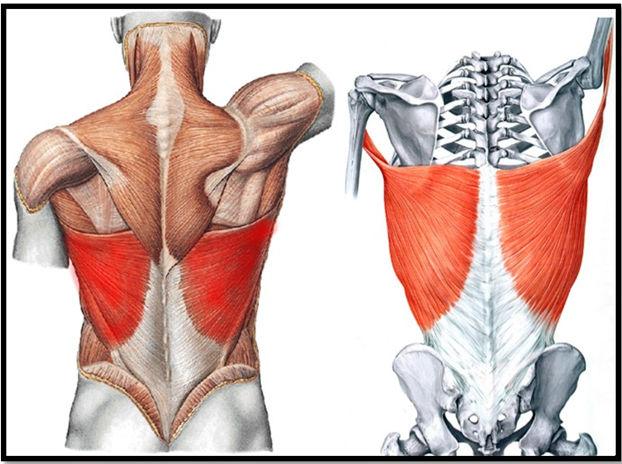 всю нижнюю часть спины занимает мышца
